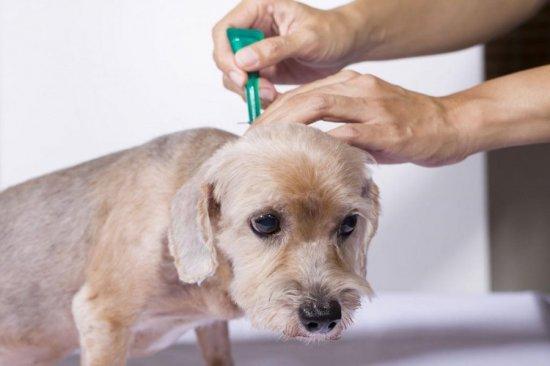 Обработка собаки от блох
