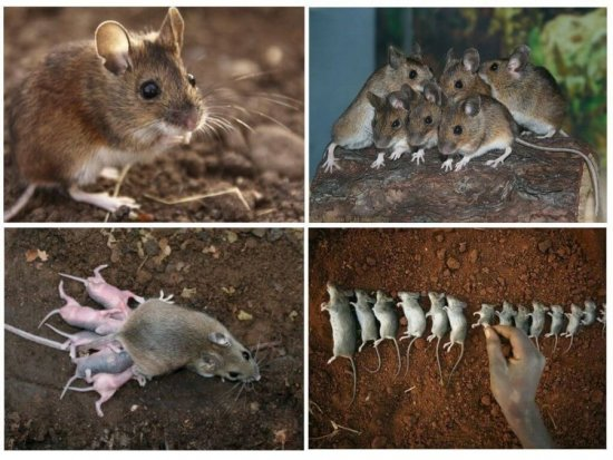 Земляные крысы