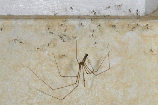 Домашний паук с детками