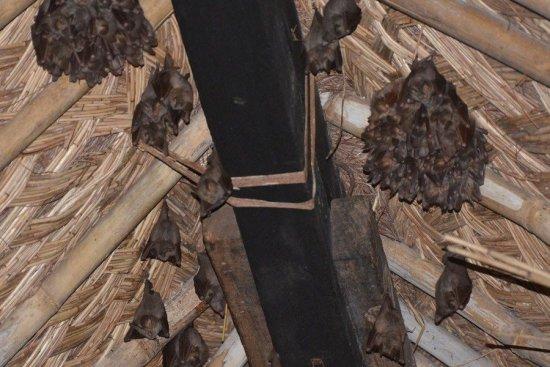 Летучие мыши в доме