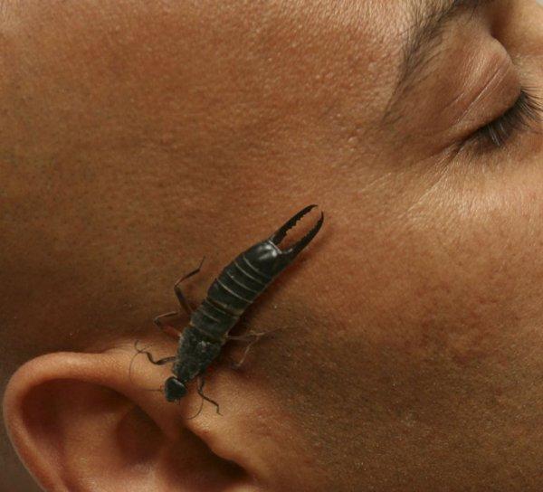 Уховертка возле уха человека