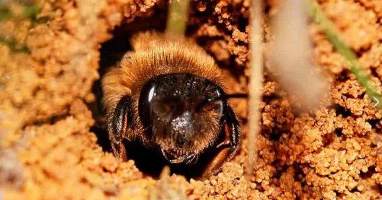 Пчелы земляные