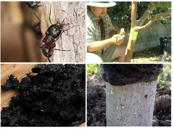 Ловчие пояса на деревья от муравьев