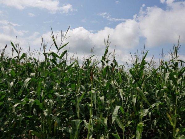 Кукуруза на поле