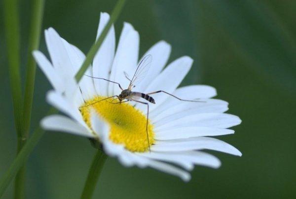 Самцы комаров