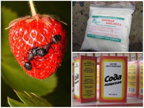 Средства от муравьев на клубнике