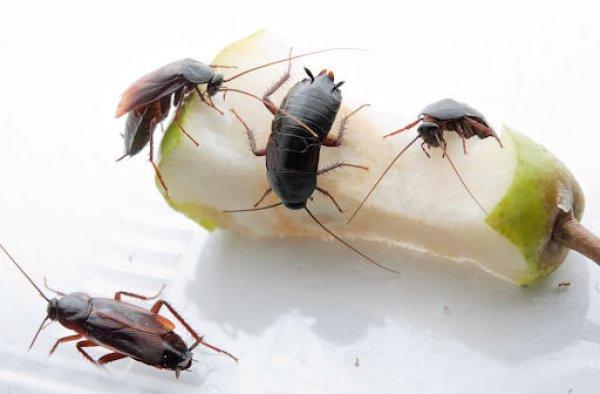 Тараканы на остатках еды