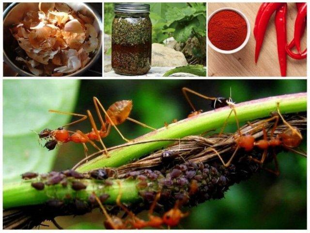 Народные средства от муравьев на смородине