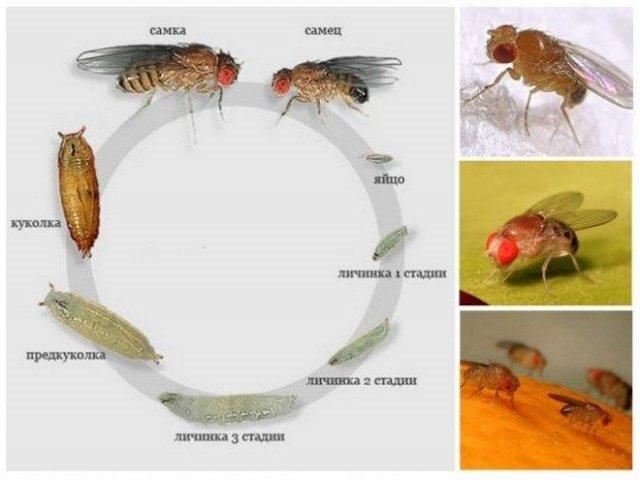 Жизненный цикл мошек