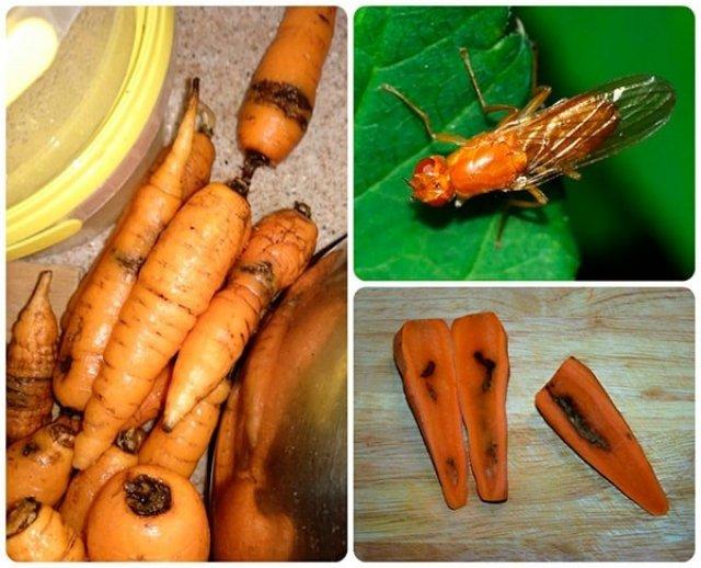 Заражение морковной мухой