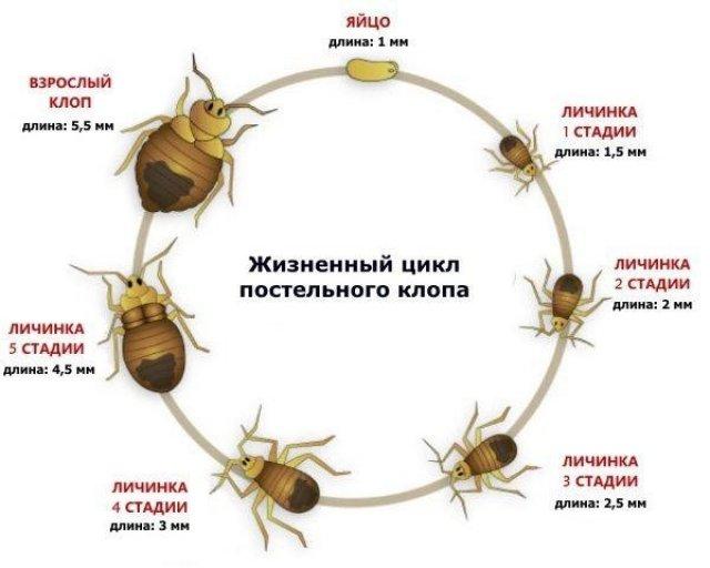 Жизненный цикл клопов