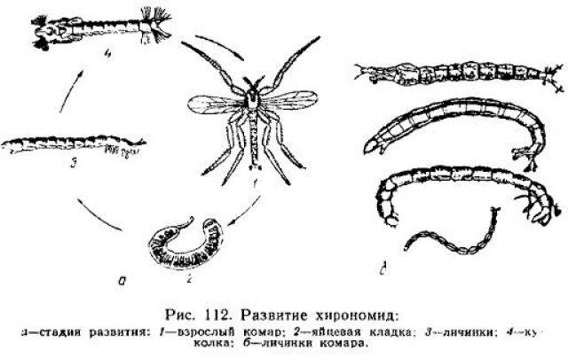 Жизненный цикл комаров-звонцов