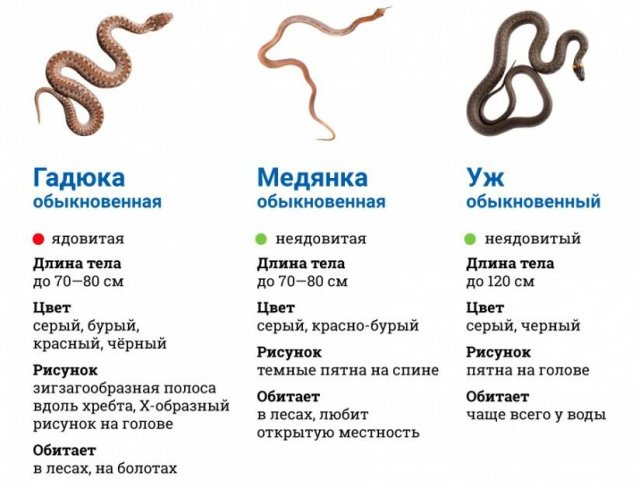 Особенности медянки