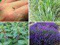 Растения, отпугивающие комаров