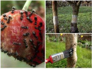Избавление от муравьев на вишневых деревьях