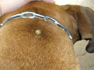 Клещ укусил собаку