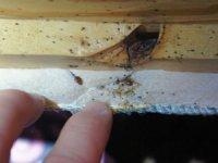 Гнездо клопов в квартире