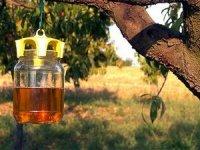 Методы борьбы с вишневой мухой