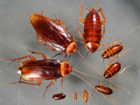 Американские тараканы